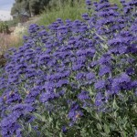 Caryopteris x clandolensis Heavenly Blue