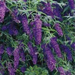 Buddleia butterfly bush black knight plug plant